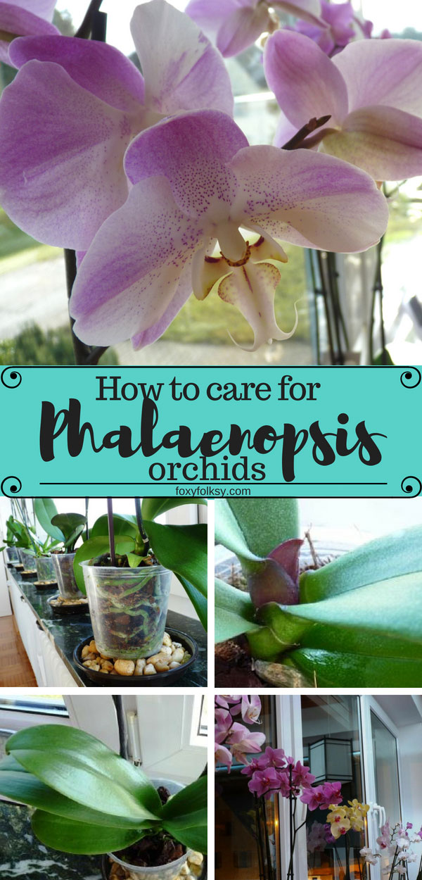 Useful tips on how to make your Phalaenopsis orchids healthy and happy for  beautiful regular blooms.   www.foxyfolksy.com #orchids #flowers #gardening #planting #phalaenopsis