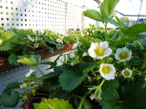 strawberry planter (3)