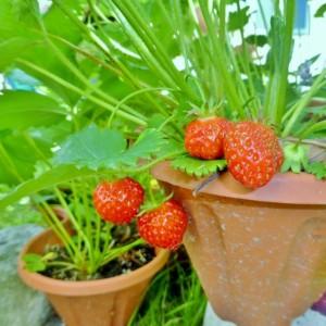strawberry.3