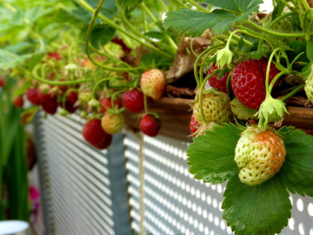 diy-strawberry-planter (2)