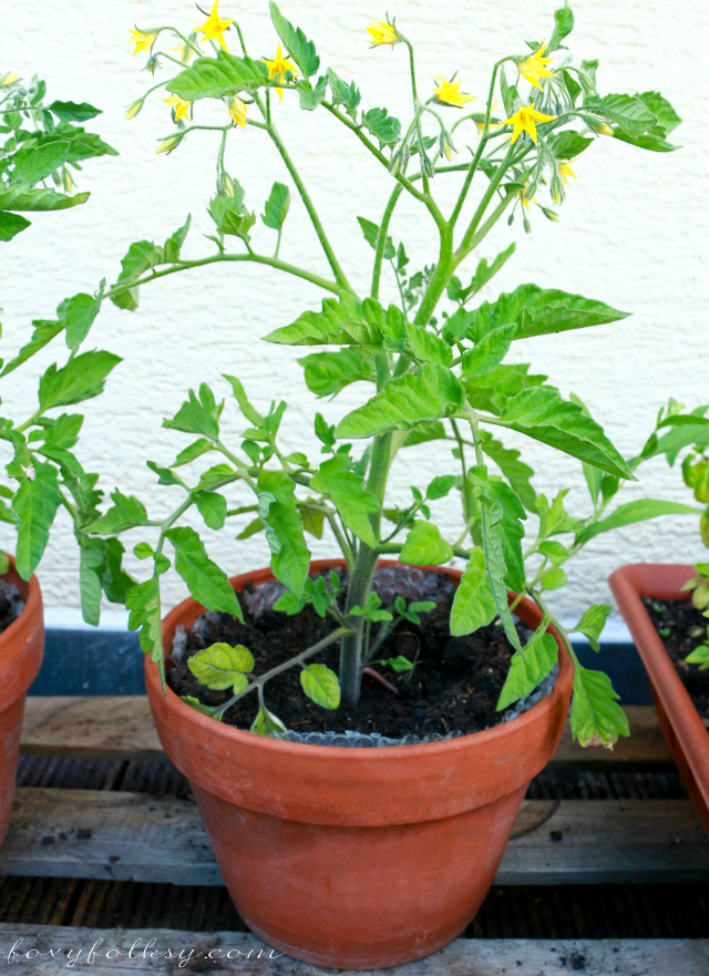 Tomatoes growing in containers the image kid has it - Best tomato plants for container gardening ...