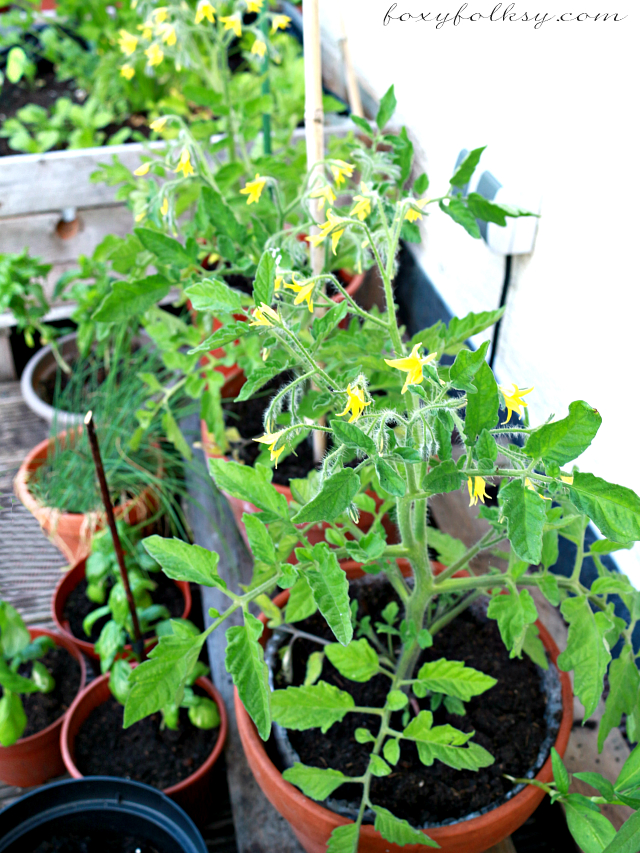 Growing Tomatoes Indoors How To Grow Tomatoes Indoors How To Grow Tomatoes Indoors Delighful