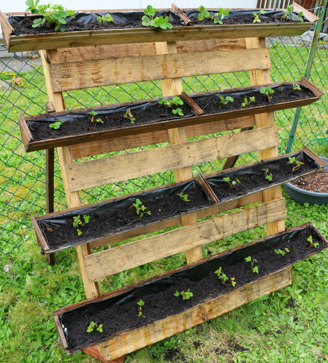 CONTAINER GARDENING: STRAWBERRY PLANTER USING PALLET